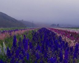 Photo uploaded by Lompoc Valley Of Flowers Half Century Club