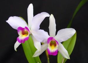 Photo uploaded by Santa Barbara Orchid Estate